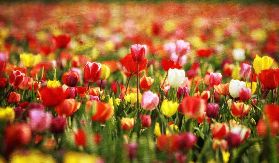 Portland 4-1-13-516_tulips flypaper