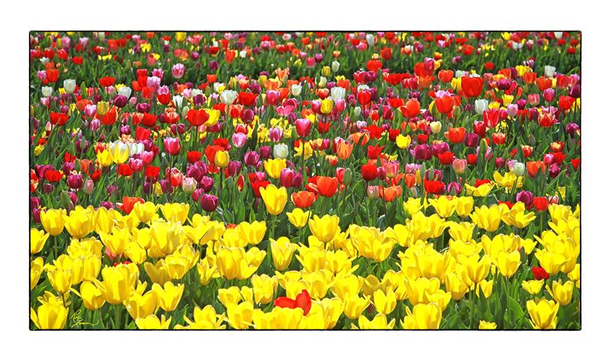 Tulips white border